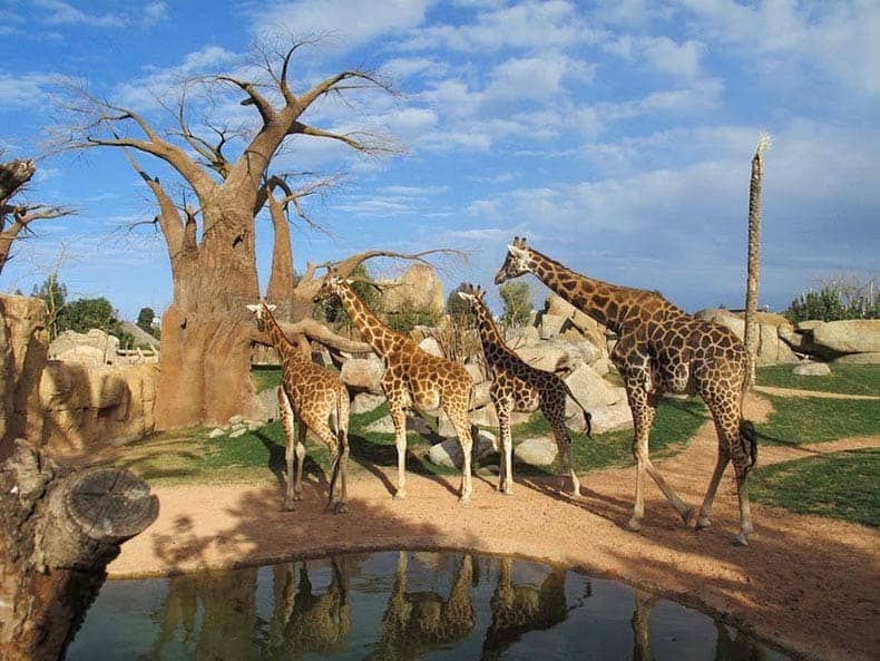 Bioparc and its giraffes